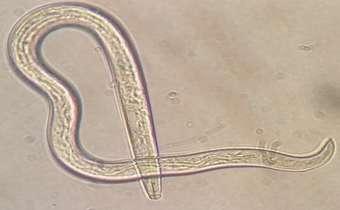 Fungos fitopatogênicos servem de alimento para o nematoide Aphelenchoides