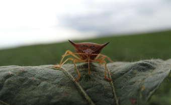 [Gravação do Webinar]Desafios no manejo de sugadores da soja: mosca-branca e percevejos