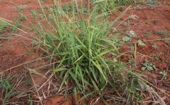 Herbicidas pré-emergentes como ferramenta no manejo da resistência