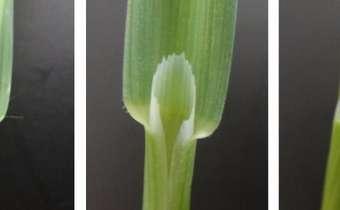 Identificação de cereais de inverno em fases iniciais de desenvolvimento