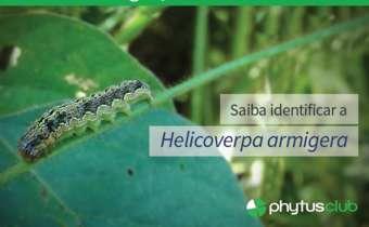 Identificação dalagarta <em>Helicoverpa</em>