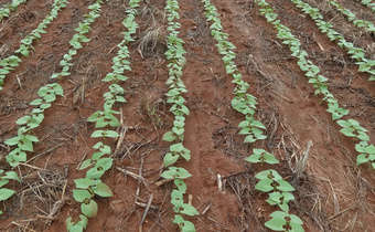 Implicações da qualidade fitossanitária das sementes na cultura do feijoeiro