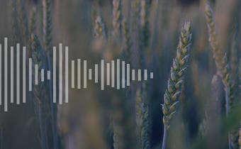 Importância do manejo de plantas daninhas na cultura do trigo