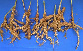 Indicativos do ataque de nematoides em raízes de soja