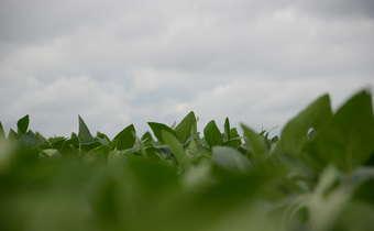 Indutores de resistência podem substituir aplicações de fungicidas na soja?
