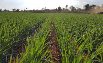Influência da velocidade de semeadura no número de perfilhos e na produtividade de trigo (<em>Triticum ...</em>