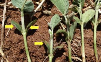 Injúria em plântulas de soja de diferentes genótipos em função da aplicação do herbicida saflufenacil ...