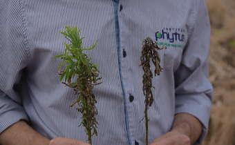 Intervalo de segurançapara 2,4-D em pré-semeadura da soja