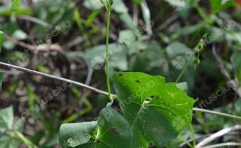 <em>Ipomoea hederifolia</em>