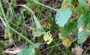Mancha-alvo (<em>Corynespora cassiicola</em>) em soja