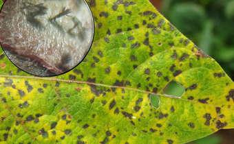 Mancha angular <i>Pseudocercospora griseola</i> (Sacc.) Crous & U. Braun. [Sin. <i>Phaeoisariopsis griseola</i>]