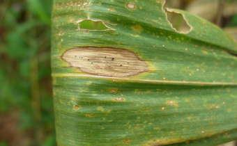 Mancha de macrospora ou diplodia (<em>Stenocarpella macrospora</em> e <em>Stenocarpella maydis</em>), da semeadura à colheita