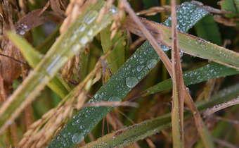 Manejo integrado das doenças do arroz