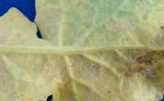 Míldio (<em>Peronospora parasitica</em>) da canola