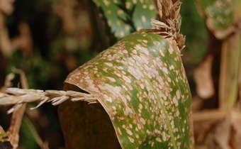 <em>Phaeosphaeria maydis</em>em milho