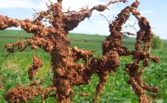 Nematoides em soja