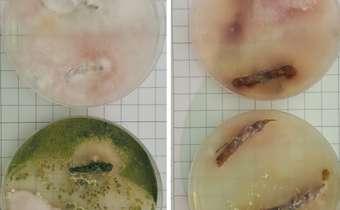 Nematoides que atacamo tabaco podem predispor as plantas a outros patógenos de solo