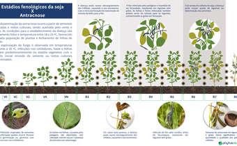 Ocorrência de antracnose na soja de acordo com os estádios fenológicos