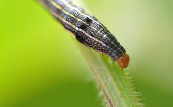 Ocorrência de lagartas <em>Spodoptera eridania</em> em lavoura de soja Intacta em Pirajuba/MG