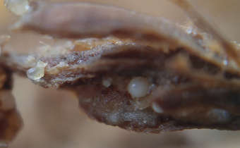Ocorrência de nematoides preocupa produtores de arroz irrigado