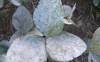Oídio na soja pode demandar ajustes nas aplicações de fungicidas