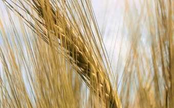 Patógenos associados a sementes de trigo: riscos e controle