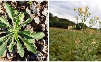 Plantas daninhas e a resistência a herbicidas