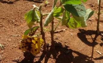 Podridão vermelha da raiz: <em>Fusarium tucumaniae</em> (Aoki)