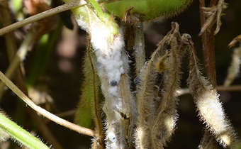 Posicionamento de fungicidas visando mofo-branco na soja