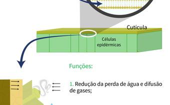 Principais funções da cutícula em plantas