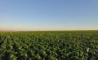 Principais problemas fitossanitários em feijoeiro irrigado