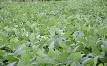 Problemas da última aplicação de fungicidas em soja