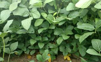 Programa de aplicações para proteção foliar com fungicidas