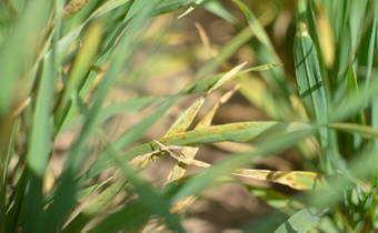 Programa de controle de doenças no trigo