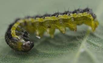 Quais são as lagartas que preocupam mais nos estádios reprodutivos?