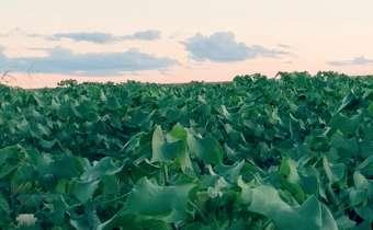 Quais os parâmetros que afetam o programa fungicida no algodão?