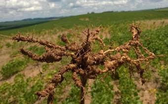 Reação de cultivares de soja a <em>Meloidogyne javanica</em>