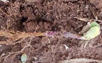 Recomendações importantes para a ressemeadura da soja devido à morte de plântulas