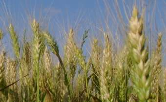 Casos de resistência de plantas daninhas na cultura do trigo e outros cereais de inverno