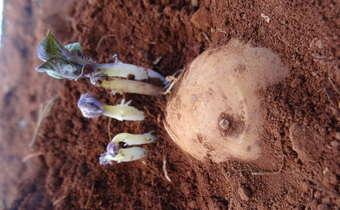 Rhizoctoniose em plantas de batata
