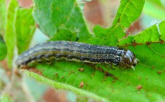 Risco para surtos de <em>Spodoptera frugiperda</em> na soja