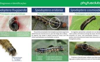 Saiba diferenciar as<em> Spodopteras</em>