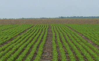 <em>Scutellonema brachyurus</em>: nematoide presente em lavouras de soja
