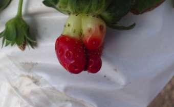 Sintoma da deficiência de Boro em morango