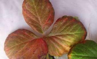 Sintoma da deficiência de Nitrogênio no morango