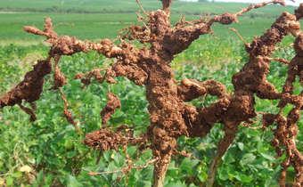 Sintoma de <i>Meloidogyne javanica</i> em raizes de soja