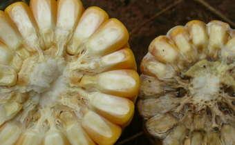 Sintomas de <i>Diplodia macrospora</i> na espiga da cultura do milho