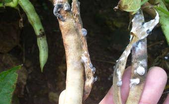 Sintomas de mofo branco (<i>Sclerotinia sclerotiorum</i>) e formação de estruturas de sobrevivência em legumes de ...
