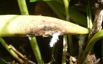 Sintomas de mofo branco (<i>Sclerotinia sclerotiorum</i>) em legumes de feijão