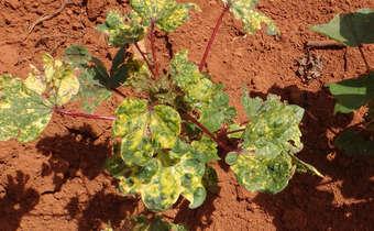 Sintomas de Mosaico comum (<em>Abutilon mosaic virus</em> - AbMV) em algodoeiro transmitido pelo inseto vetor mosca-branca ...